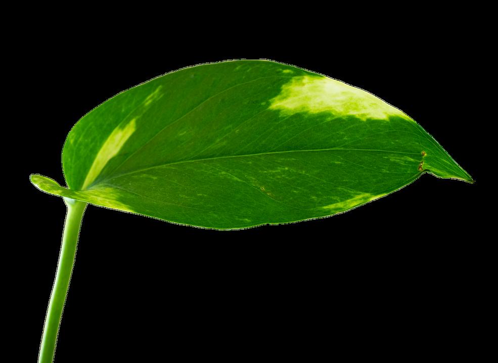 Zimmerpflanze robust Efeutute